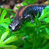 Salamander on Chamomile: A Garden Slender Salamander (Batrachoseps major major) makes its way through a thicket of camomile.