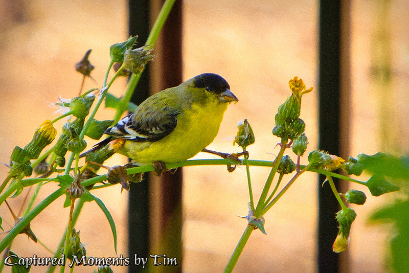 Breakfast with Goldfinches <br /> I'm not ignoring the yard work by not weeding, I'm growing Goldfinch food.  At least that's what I keep telling myself.