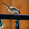 Bewick's Wren <br /> A pair of Bewick's wrens has been calling our front yard home for the last couple of months.  This morning one of them felt relaxed enough to pose for some portraits.