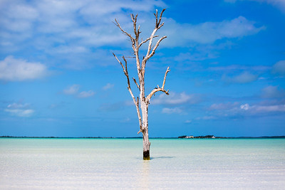 Lone Tree - Harbour Island, Bahamas - Tall Tree - Up Close - Blue Sky