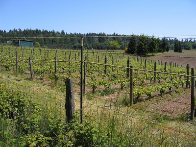 Bainbridge Island Winery's vineyard off of Day Road