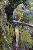 Military Macaw (Ara militaris)