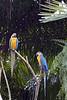 Blue & Gold Macaws (Ara ararauna)
