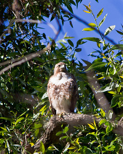 Juvenile red-tailed hawk at Lake Chabot.