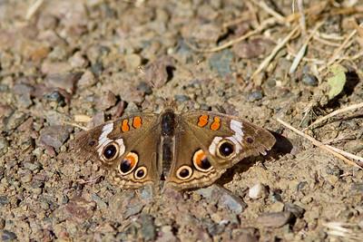 Buckeye butterfly at Lake Chabot.