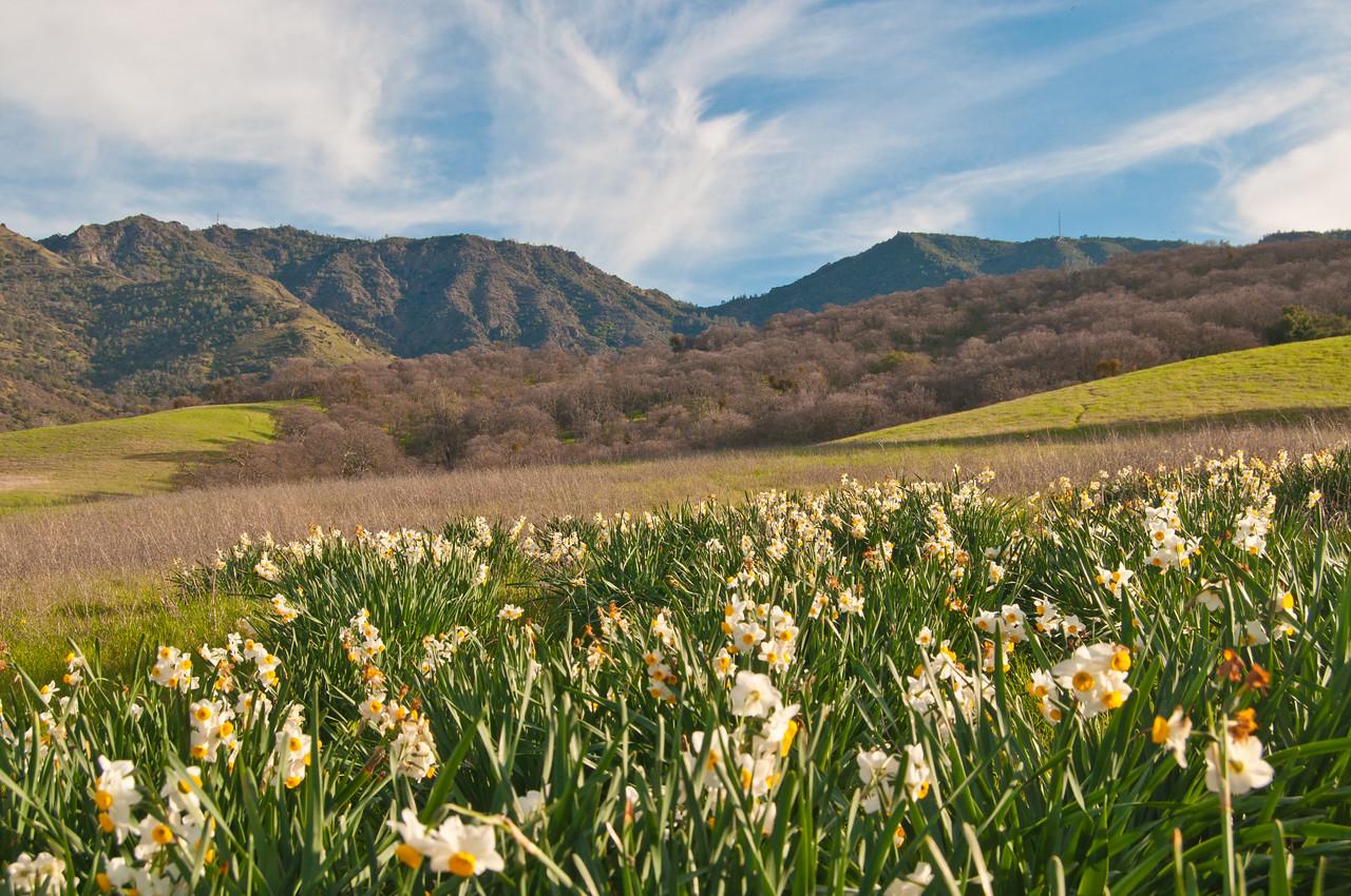 Mt. Diablo Daffodils