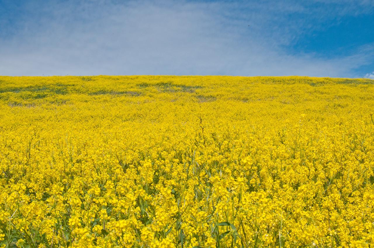 Springtime mustard flowers