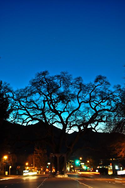 Danville Oak Tree, Downtown Danville, CA
