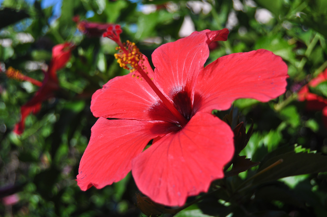 Hibiscus, Hawaii