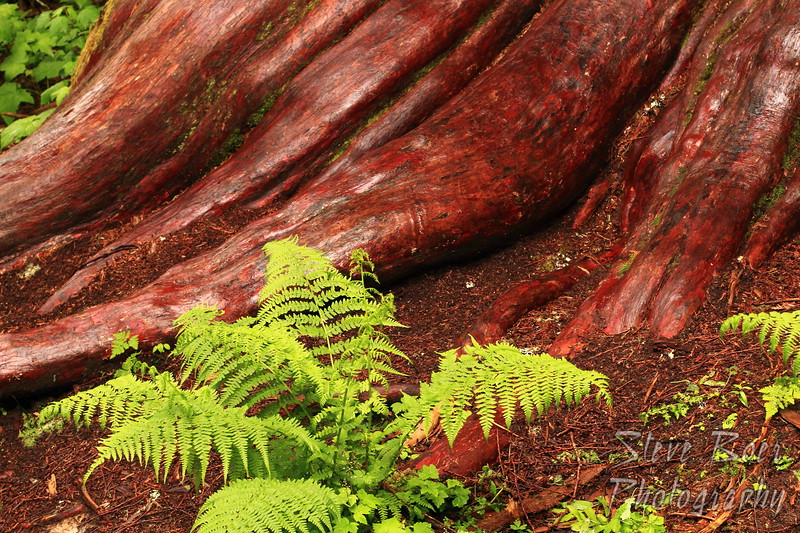 Exposed Cedar Roots and Fern
