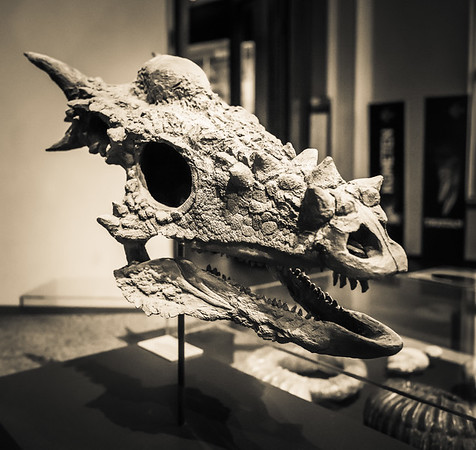 Stygimoloch skull in Berlin Museum of Natural History