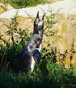 Singing penguin in Berlin Zoo