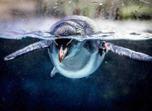 Penguin in Berlin Zoo