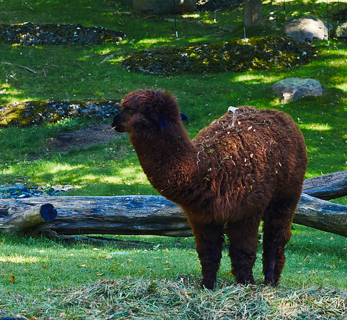 Alpaca in Berlin Zoo