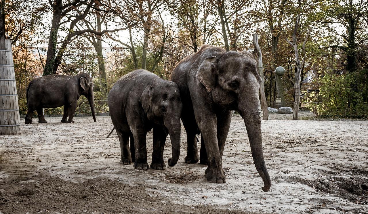 Elephants In Berlin Zoo