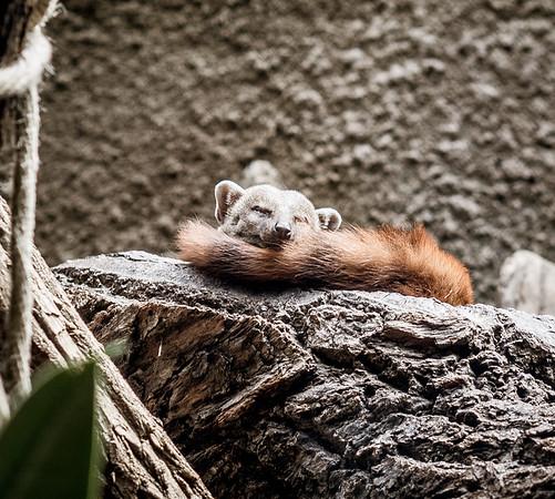 Sleeping mongoose in Berlin Zoo