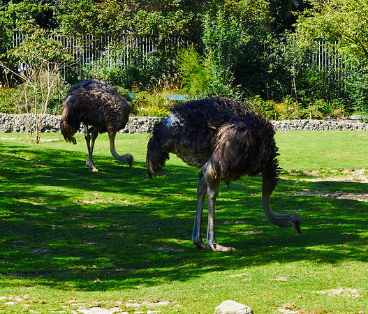 Ostrichs in Berlin Zoo
