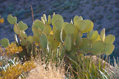 There are about 65 different types of cacti in Big Bend National Park, more than any other park.