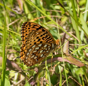 Aphrodite Fritillary (male) - view 2 of 3
