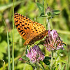 Aphrodite Fritillary (male) - view 3 of 3