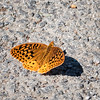 Great Spangled Fritillary (male)