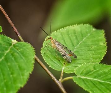 Scorpionfly sp. (female)