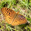 Aphrodite Fritillary (male) - view 1 of 3