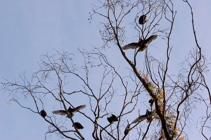 Turkey Vultures in Shelter Cove.
