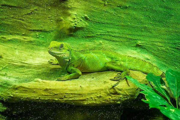 Chinese dragon lizard in Biosphere Potsdam