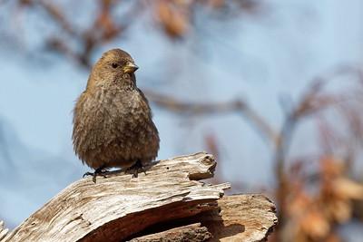 Asian Rosy Finch