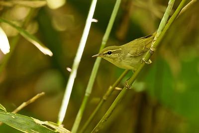 Kamchatka Leaf Warbler
