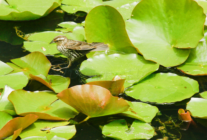 Sparrow on Lily Perch