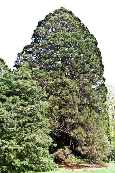 Giant Sequoia<br /> Tallest, oldest one on the East Coast.