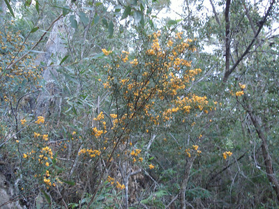 Yellow rainforest flowerbush