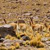 Vicuna and llama were everywhere.
