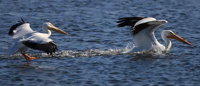 White Pelicans at Bolsa Chica