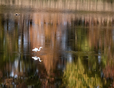 Great Egret with Fall Colors Reflected in the Water
