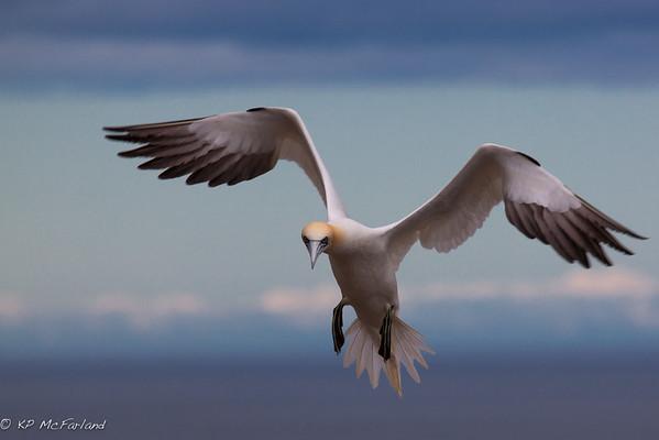 Northern Gannet (Morus bassanus) Landing