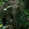Borneo pygmy elephant (Elephas maximus borneensis)