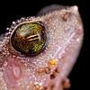 Rufous sided frog (Kalophrynus sp.)