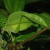 Leafy legged katydid (Phaneropterinae)
