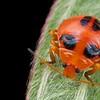 Ladybird-mimicking stink bug