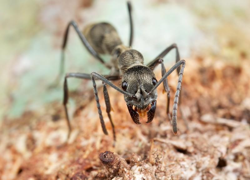 Fingerprint ant (Diacamma sp.)