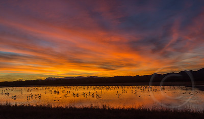 Sandhill Cranes Roosting at Sunset