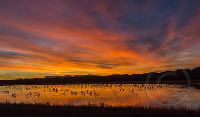 Sandhill Cranes Roosting at Sunset