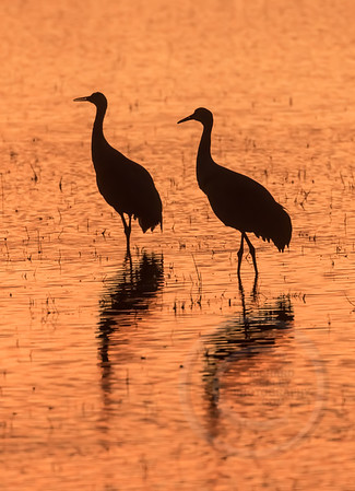 Crane Pair Sunrise Stroll