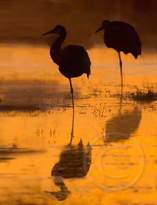 Sandhill Cranes Balance on One Leg