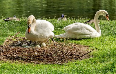 Swan eggs