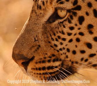 Leopard and Bee Close-Up_U0U0023 web