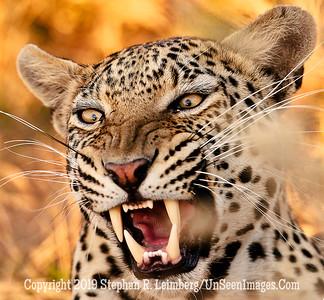 Leopard Growling close-up_U0U0217 web
